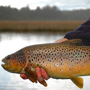 Estuary Brown trout